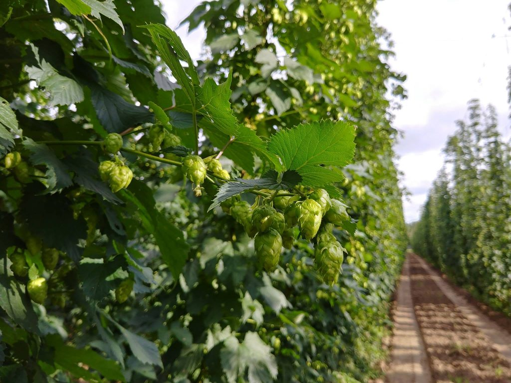 Four Star Farms Hops